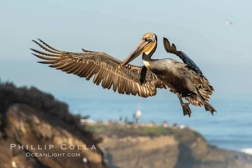 California brown pelican in flight, spreading wings wide to slow in anticipation of landing on seacliffs. La Jolla, USA, Pelecanus occidentalis californicus, Pelecanus occidentalis, natural history stock photograph, photo id 36687
