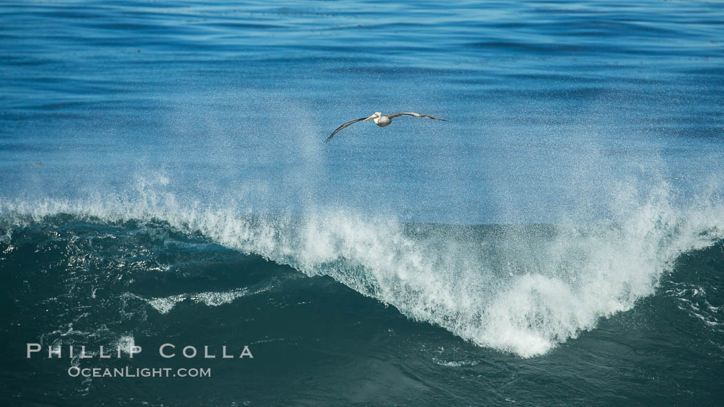 California Brown Pelican flying over a breaking wave. La Jolla, USA, Pelecanus occidentalis, Pelecanus occidentalis californicus, natural history stock photograph, photo id 30371