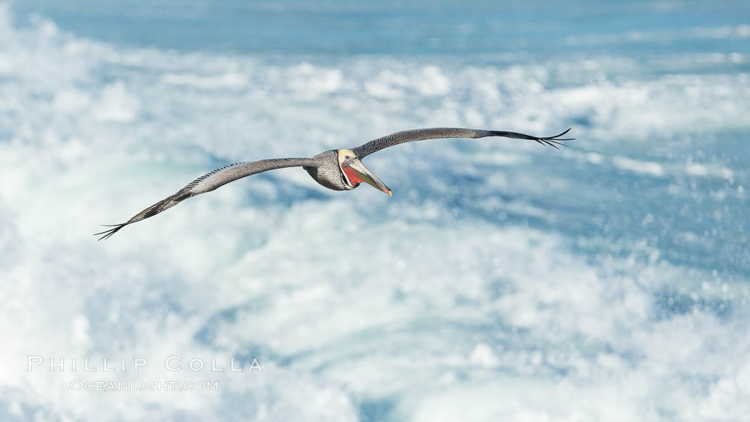 California Brown Pelican flying over sea foam and waves. La Jolla, USA, Pelecanus occidentalis, Pelecanus occidentalis californicus, natural history stock photograph, photo id 30367