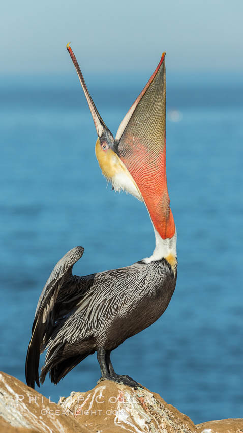 California Brown Pelican head throw, stretching its throat to keep it flexible and healthy. Note the winter mating plumage, olive and red throat, yellow head. La Jolla, California, USA, Pelecanus occidentalis, Pelecanus occidentalis californicus, natural history stock photograph, photo id 30336
