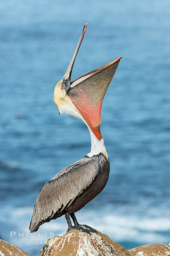 California Brown Pelican head throw, stretching its throat to keep it flexible and healthy. Note the winter mating plumage, olive and red throat, yellow head. La Jolla, USA, Pelecanus occidentalis, Pelecanus occidentalis californicus, natural history stock photograph, photo id 30339