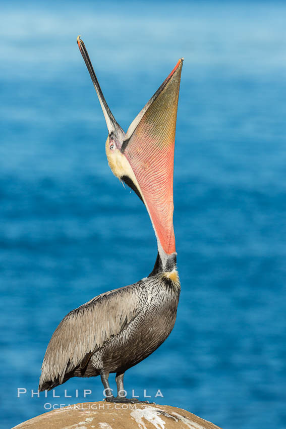 California Brown Pelican head throw, stretching its throat to keep it flexible and healthy. La Jolla, USA, Pelecanus occidentalis, Pelecanus occidentalis californicus, natural history stock photograph, photo id 30304