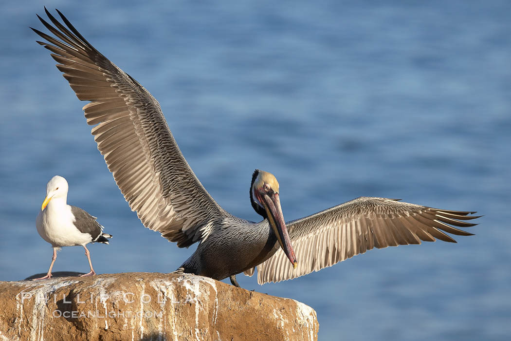 Brown pelican spreads its large wings as it balances on a perch above the ocean, displaying adult winter plumage.  This large seabird has a wingspan over 7 feet wide. The California race of the brown pelican holds endangered species status, due largely to predation in the early 1900s and to decades of poor reproduction caused by DDT poisoning. La Jolla, California, USA, Pelecanus occidentalis, Pelecanus occidentalis californicus, natural history stock photograph, photo id 20265