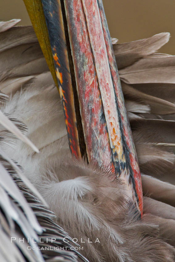 California brown pelican preening. La Jolla, California, USA, Pelecanus occidentalis, Pelecanus occidentalis californicus, natural history stock photograph, photo id 27261