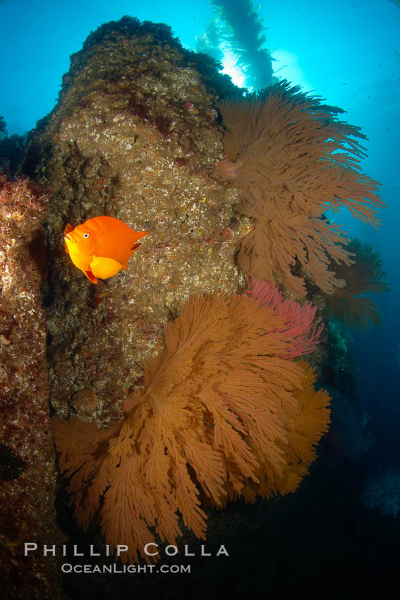 Garibaldi and California golden gorgonians on rocky reef, below kelp forest, underwater.  The golden gorgonian is a filter-feeding temperate colonial species that lives on the rocky bottom at depths between 50 to 200 feet deep.  Each individual polyp is a distinct animal, together they secrete calcium that forms the structure of the colony. Gorgonians are oriented at right angles to prevailing water currents to capture plankton drifting by. San Clemente Island, California, USA, Muricea californica, Hypsypops rubicundus, natural history stock photograph, photo id 23552