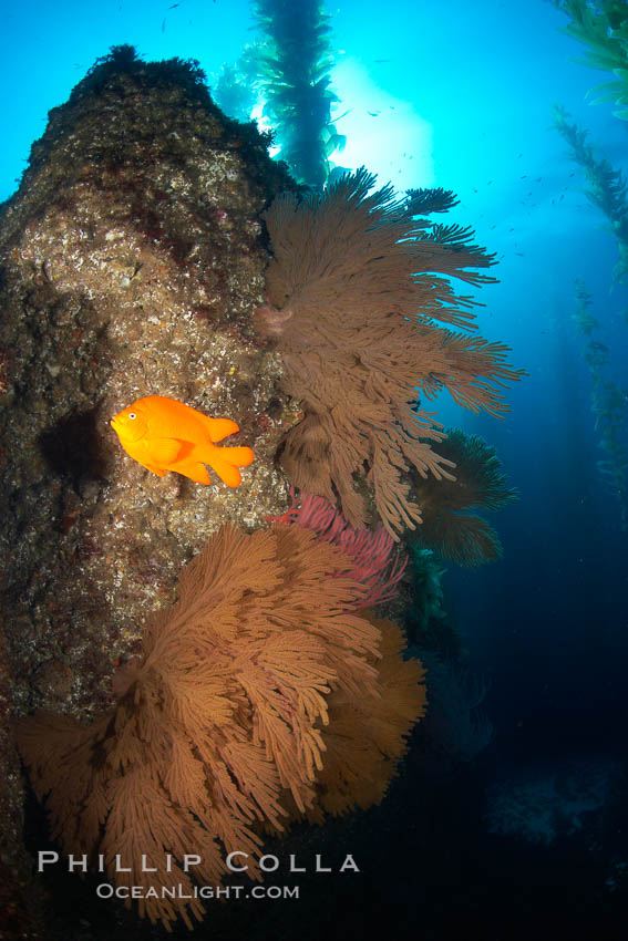 Garibaldi and California golden gorgonians on rocky reef, below kelp forest, underwater.  The golden gorgonian is a filter-feeding temperate colonial species that lives on the rocky bottom at depths between 50 to 200 feet deep.  Each individual polyp is a distinct animal, together they secrete calcium that forms the structure of the colony. Gorgonians are oriented at right angles to prevailing water currents to capture plankton drifting by. San Clemente Island, California, USA, Muricea californica, Hypsypops rubicundus, natural history stock photograph, photo id 23443