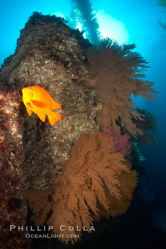 Garibaldi and California golden gorgonians on rocky reef, below kelp forest, underwater.  The golden gorgonian is a filter-feeding temperate colonial species that lives on the rocky bottom at depths between 50 to 200 feet deep.  Each individual polyp is a distinct animal, together they secrete calcium that forms the structure of the colony. Gorgonians are oriented at right angles to prevailing water currents to capture plankton drifting by. San Clemente Island, California, USA, Muricea californica, Hypsypops rubicundus, natural history stock photograph, photo id 23521