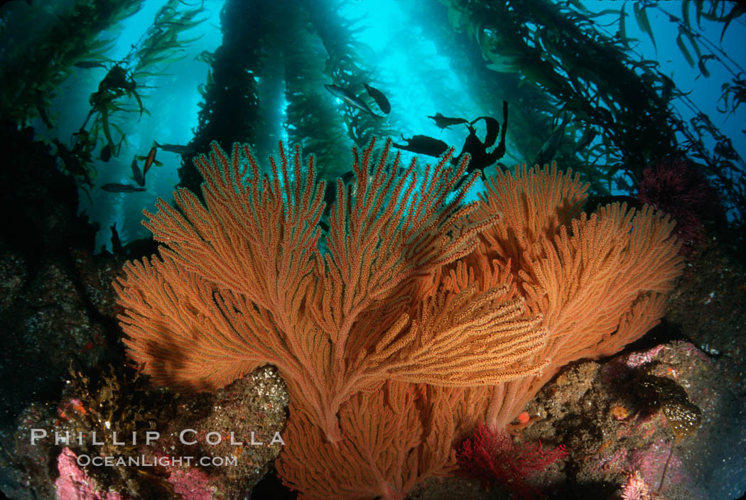 California Golden gorgonian in kelp forest. San Clemente Island, California, USA, Muricea californica, Macrocystis pyrifera, natural history stock photograph, photo id 01280
