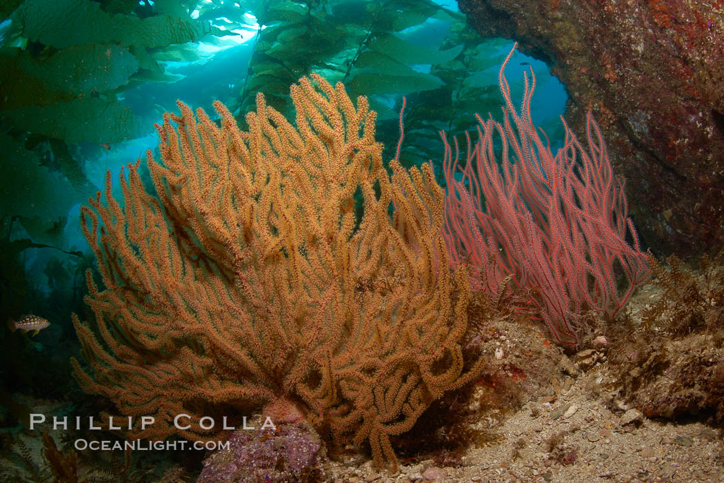 Golden and red gorgonians, kelp forest in background, underwater. Catalina Island, California, USA, Muricea californica, Lophogorgia chilensis, Hypsypops rubicundus, natural history stock photograph, photo id 23531