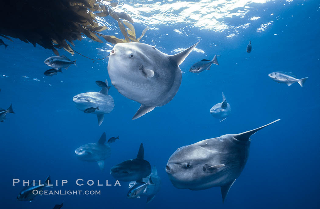Ocean sunfish schooling near drift kelp, soliciting cleaner fishes, open ocean, Baja California., Mola mola, natural history stock photograph, photo id 06330