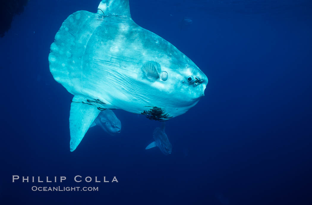 Ocean sunfish schooling near drift kelp, soliciting cleaner fishes to remove large group of parasitic copepods, open ocean, Baja California., Mola mola, natural history stock photograph, photo id 06342