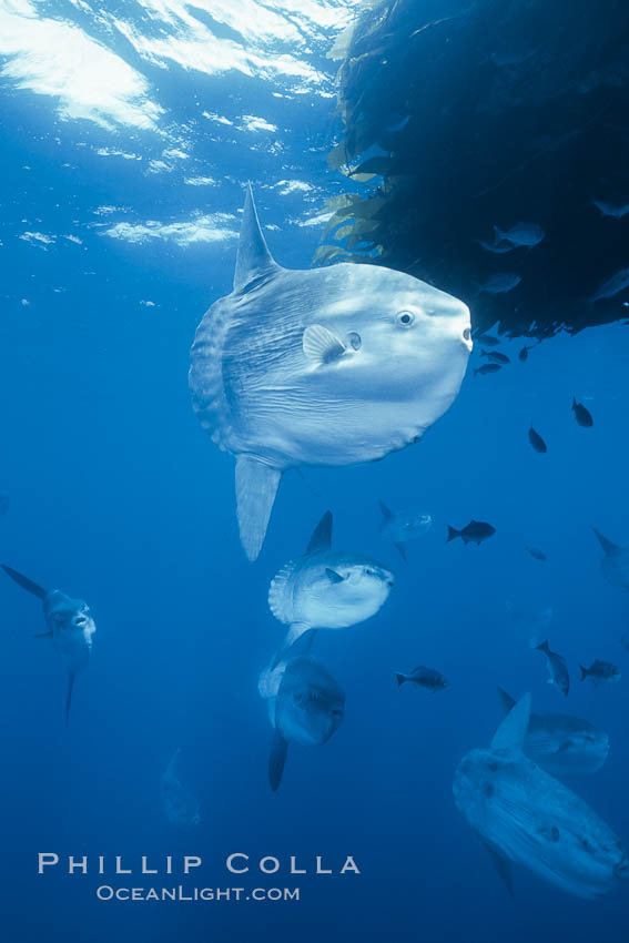 Ocean sunfish schooling near drift kelp, soliciting cleaner fishes, open ocean, Baja California., Mola mola, natural history stock photograph, photo id 06316