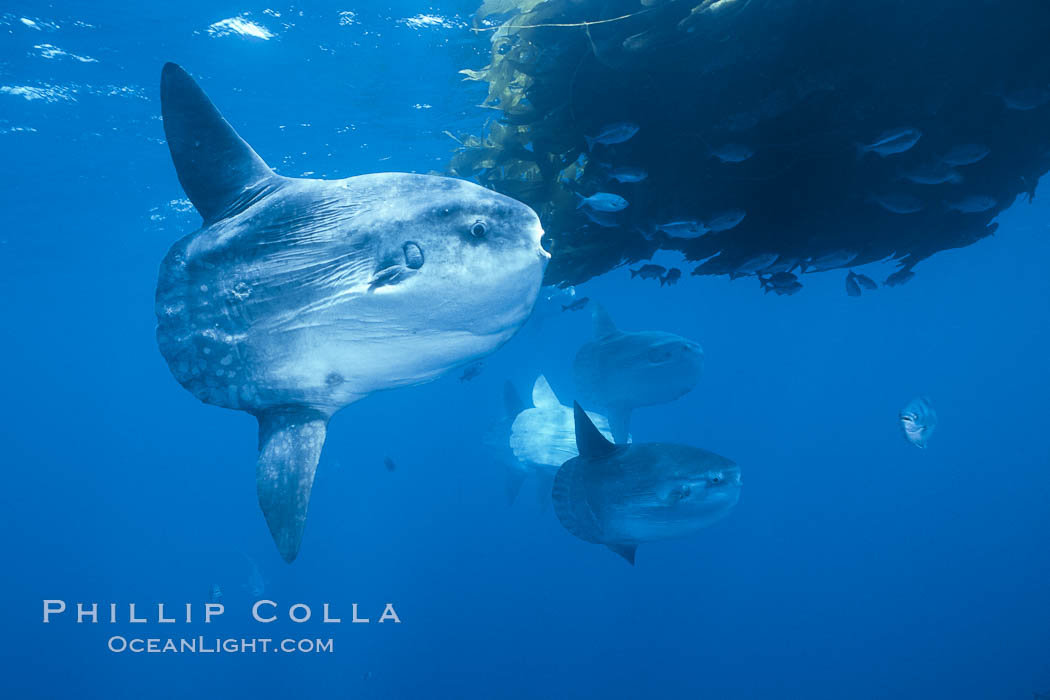 Ocean sunfish schooling near drift kelp, soliciting cleaner fishes, open ocean, Baja California., Mola mola, natural history stock photograph, photo id 06319