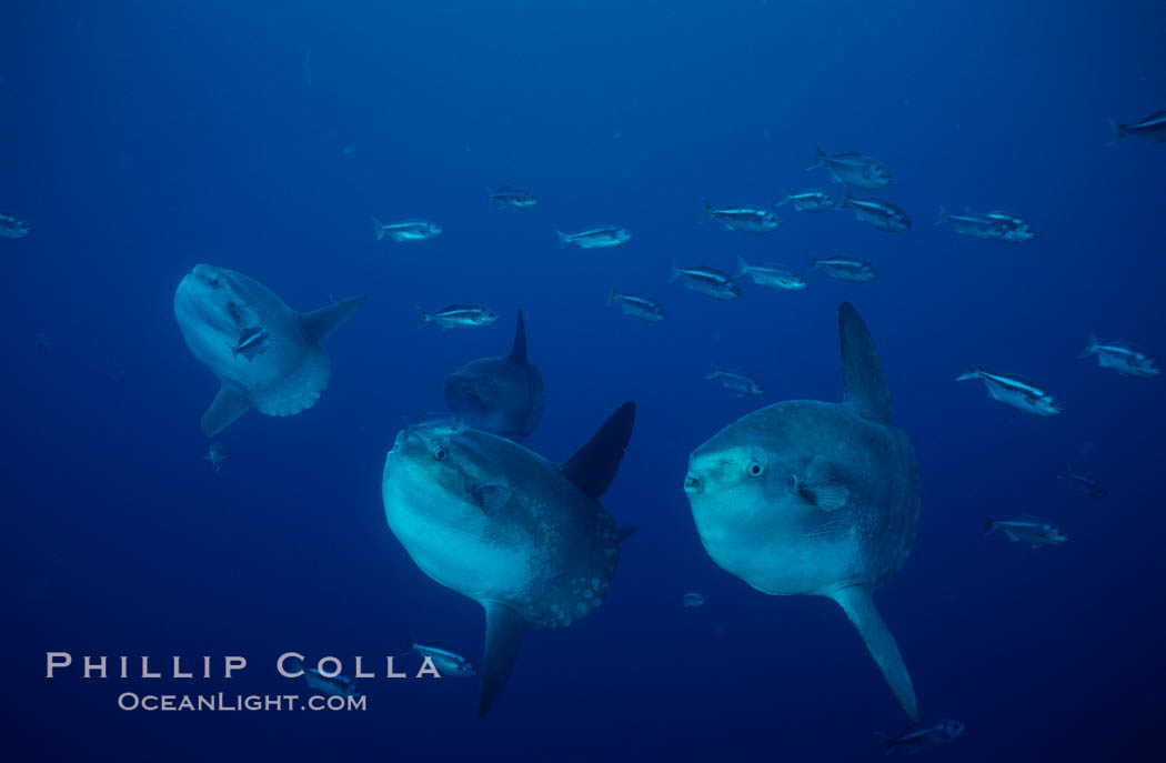Ocean sunfish, open ocean near San Diego. San Diego, California, USA, Mola mola, natural history stock photograph, photo id 03681