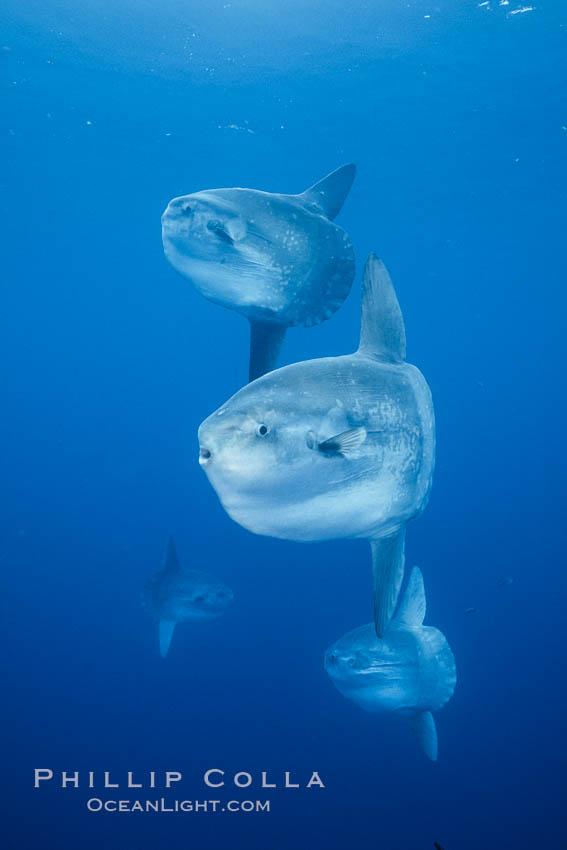 Ocean sunfish schooling, open ocean near San Diego. San Diego, California, USA, Mola mola, natural history stock photograph, photo id 03773