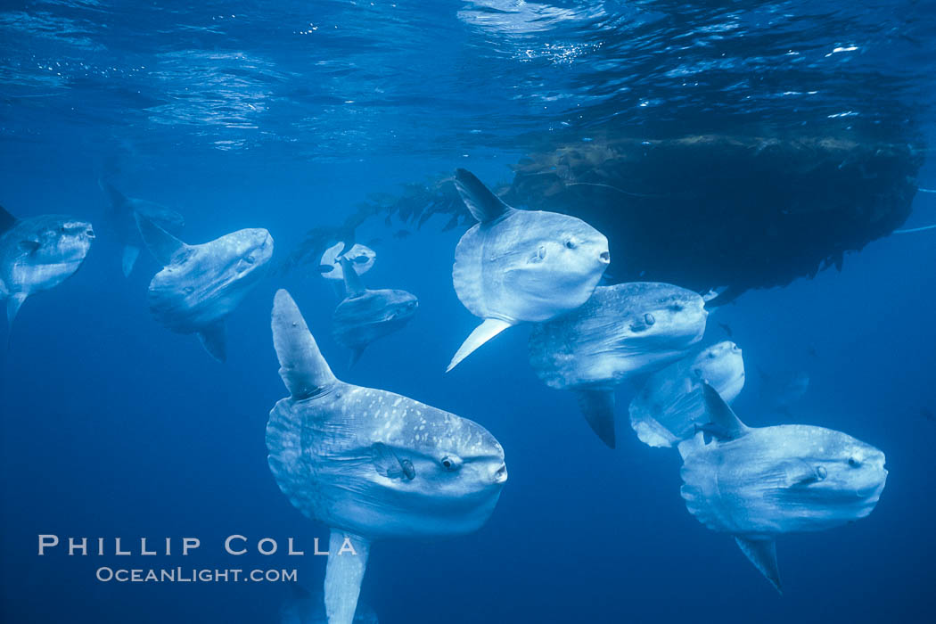 Ocean sunfish schooling near drift kelp, soliciting cleaner fishes, open ocean, Baja California., Mola mola, natural history stock photograph, photo id 06305