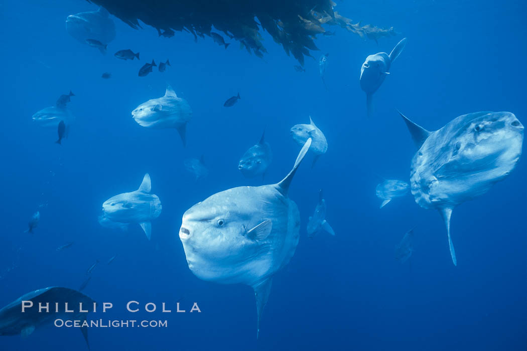Ocean sunfish schooling near drift kelp, soliciting cleaner fishes, open ocean, Baja California., Mola mola, natural history stock photograph, photo id 06313
