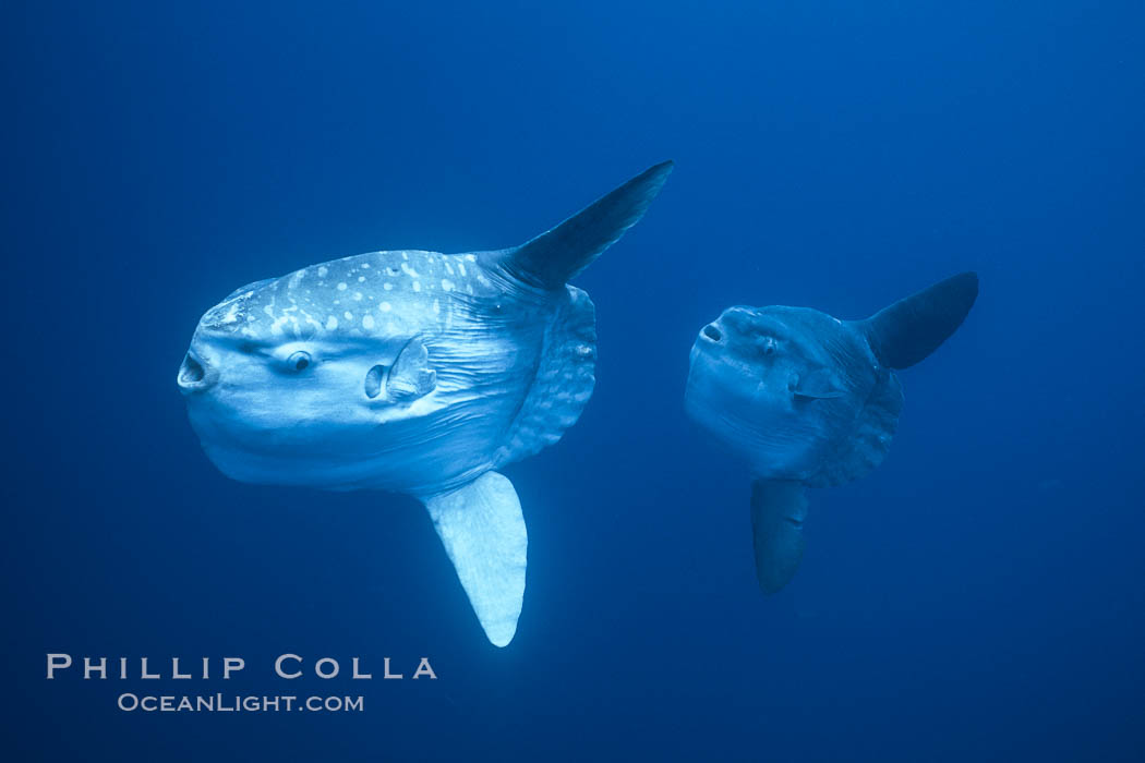 Image 06389, Ocean sunfish schooling near drift kelp, soliciting cleaner fishes, open ocean, Baja California., Mola mola, Phillip Colla, all rights reserved worldwide. Keywords: actinopterygii, animal, animalia, california baja california, chordata, cluster, creature, fish, fishes, group, indo-pacific, manbow, marine, marine fish, mola, mola mola, molidae, mondfisch, moonfish, nature, ocean, ocean sunfish, ocean sunfish - mola mola, odd, outdoors, outside, pacific, pacific ocean, pelagic, pesce luna, pez luna, school, schooling, sea, strange, submarine, sunfish, teleost fish, tetraodontiformes, underwater, vertebrata, wild, wildlife.