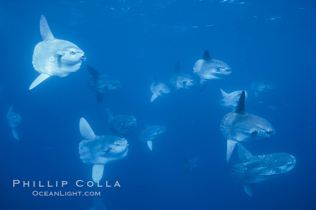 Ocean sunfish schooling near drift kelp, soliciting cleaner fishes, open ocean, Baja California., Mola mola, natural history stock photograph, photo id 06397