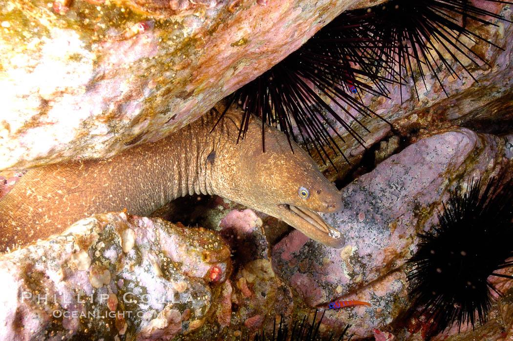 Moray eel in rock crevice. Guadalupe Island (Isla Guadalupe), Baja California, Mexico, Gymnothorax mordax, natural history stock photograph, photo id 09584