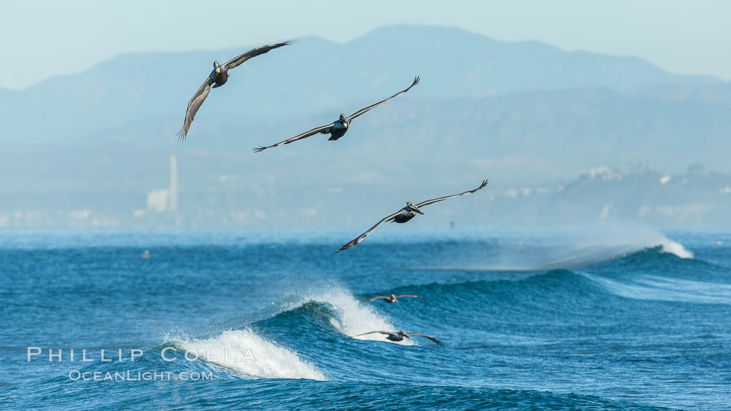 California Pelican flying on a wave, riding the updraft from the wave., Pelecanus occidentalis, Pelecanus occidentalis californicus, natural history stock photograph, photo id 30275