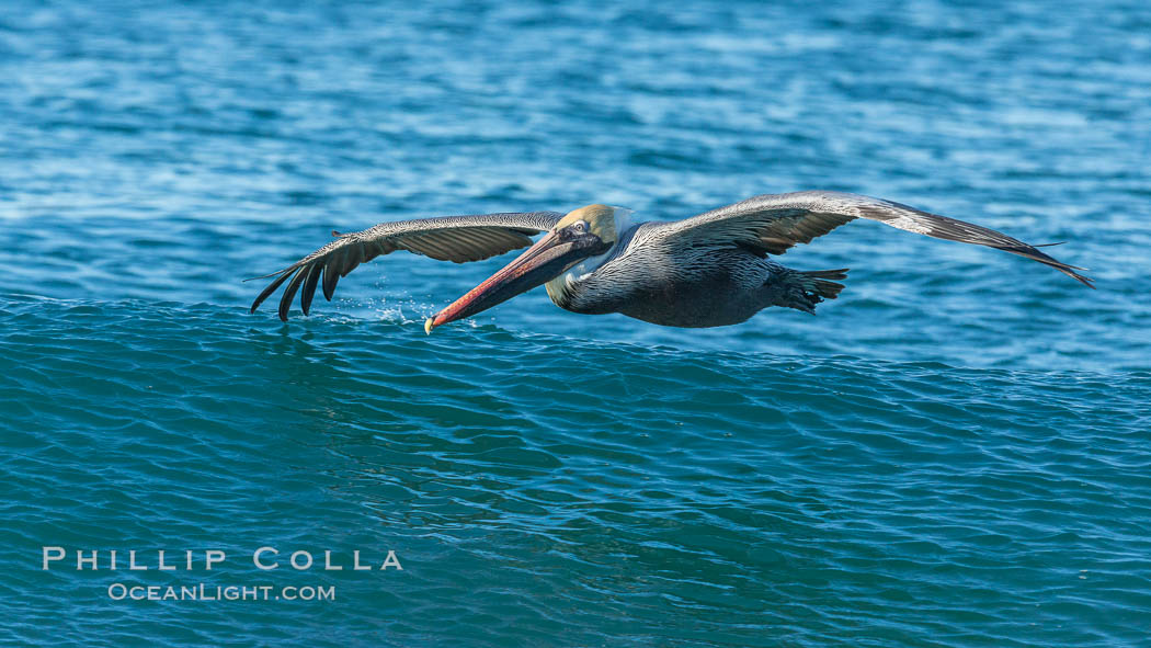 California Pelican flying on a wave, riding the updraft from the wave., Pelecanus occidentalis, Pelecanus occidentalis californicus, natural history stock photograph, photo id 30273