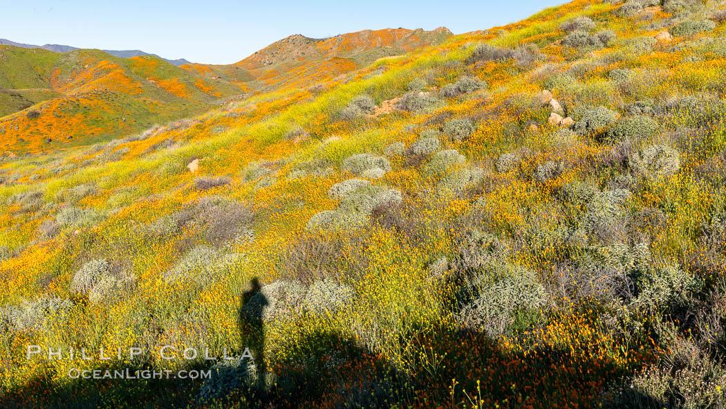 California Poppies in Bloom, Elsinore. Elsinore, California, USA, Eschscholzia californica, natural history stock photograph, photo id 35242