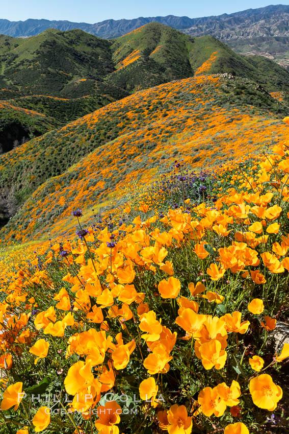 California Poppies in Bloom, Elsinore. Elsinore, California, USA, Eschscholzia californica, natural history stock photograph, photo id 35239