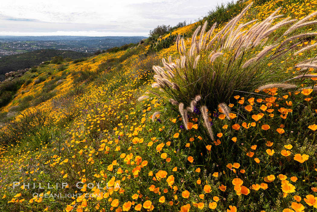 California poppies cover the hillsides in bright orange. Del Dios, San Diego, USA, Eschscholzia californica, natural history stock photograph, photo id 35164
