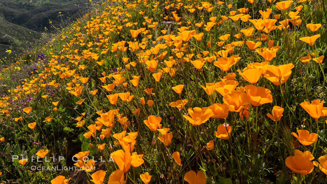 California poppies cover the hillsides in bright orange. Del Dios, San Diego, USA, Eschscholzia californica, natural history stock photograph, photo id 35163