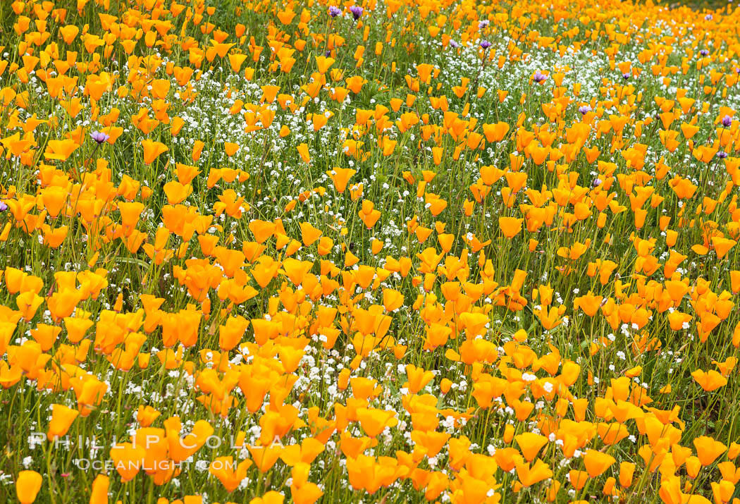California Poppies, Elsinore. USA, Eschscholzia californica, natural history stock photograph, photo id 33116