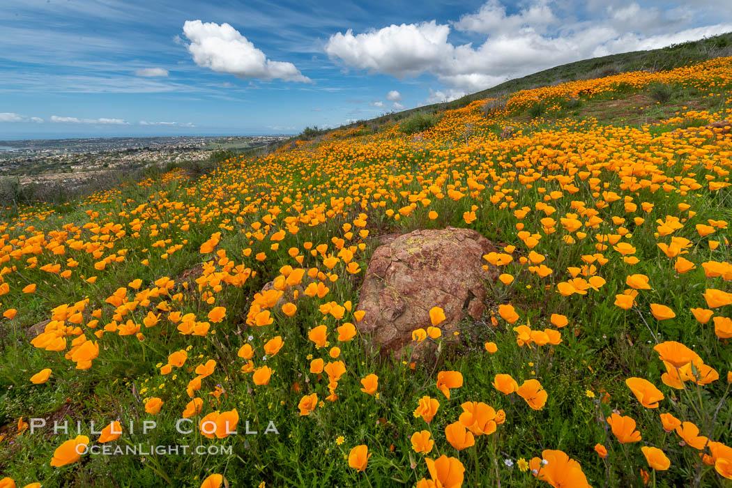 California Poppies, Rancho La Costa, Carlsbad. Rancho La Costa, Carlsbad, California, USA, Eschscholzia californica, natural history stock photograph, photo id 35190