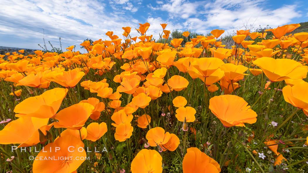 California Poppies, Rancho La Costa, Carlsbad, Eschscholzia californica