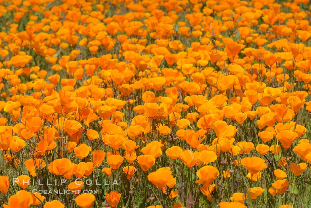 California Poppies, Rancho La Costa, Carlsbad. Rancho La Costa, Carlsbad, California, USA, Eschscholzia californica, natural history stock photograph, photo id 33119