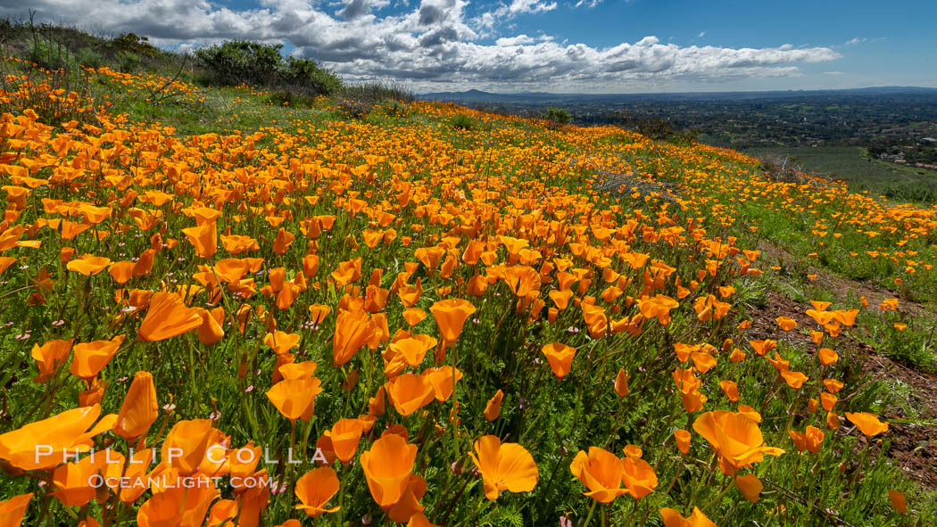 California Poppies, Rancho La Costa, Carlsbad. Rancho La Costa, Carlsbad, California, USA, Eschscholzia californica, natural history stock photograph, photo id 35209
