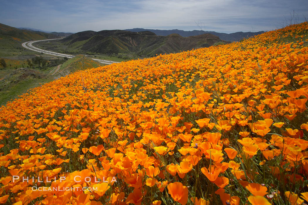 California poppies cover the hills in a brilliant springtime bloom.  Interstate 15 I-15 is seen in the distance. Elsinore, California, USA, Eschscholzia californica, Eschscholtzia californica, natural history stock photograph, photo id 20494