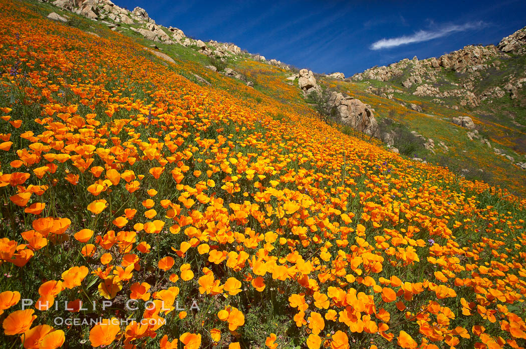 California poppies cover the hillsides in bright orange, just months after the area was devastated by wildfires. Del Dios, San Diego, USA, Eschscholzia californica, Eschscholtzia californica, natural history stock photograph, photo id 20514