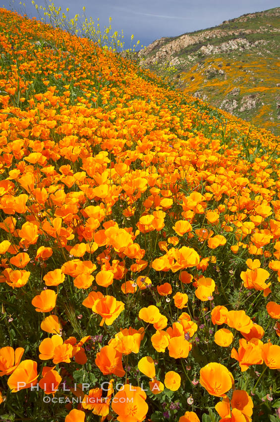 California poppies cover the hillsides in bright orange, just months after the area was devastated by wildfires. Del Dios, San Diego, USA, Eschscholzia californica, Eschscholtzia californica, natural history stock photograph, photo id 20522
