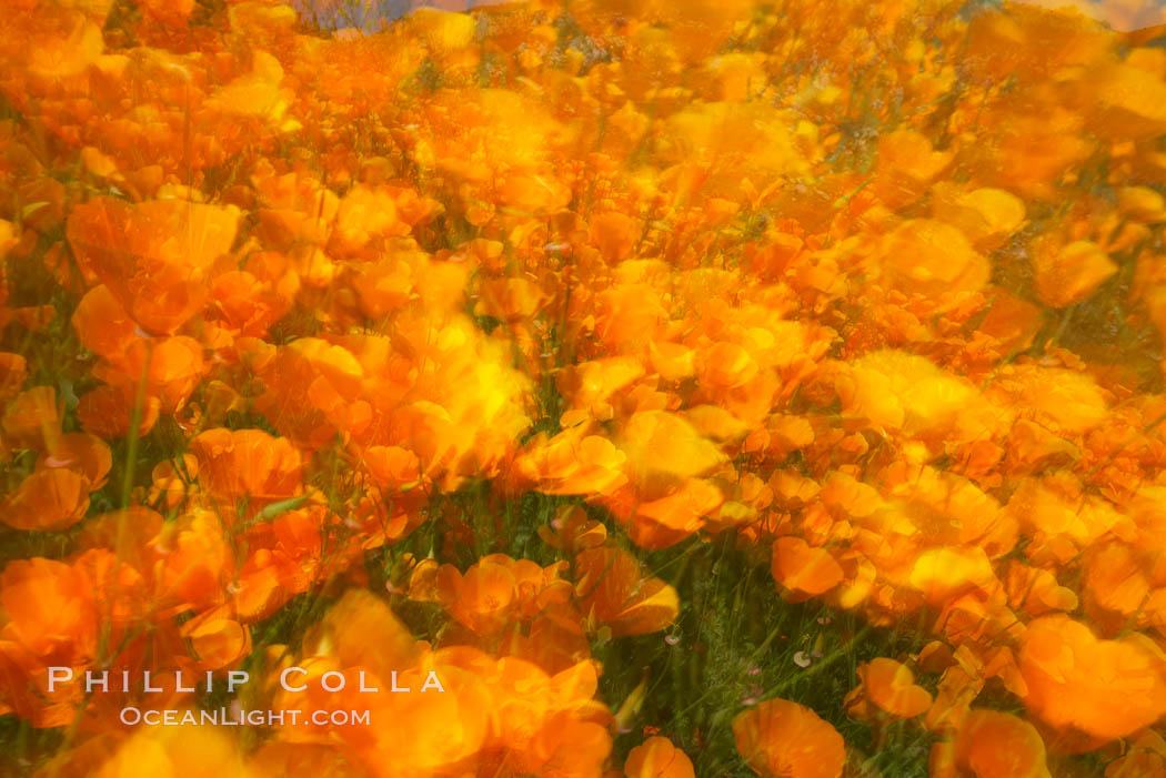 California poppies in a blend of rich orange color, blurred by a time exposure. Del Dios, San Diego, California, USA, Eschscholzia californica, Eschscholtzia californica, natural history stock photograph, photo id 20508