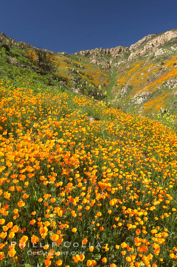 California poppies cover the hillsides in bright orange, just months after the area was devastated by wildfires. Del Dios, San Diego, USA, Eschscholzia californica, Eschscholtzia californica, natural history stock photograph, photo id 20512