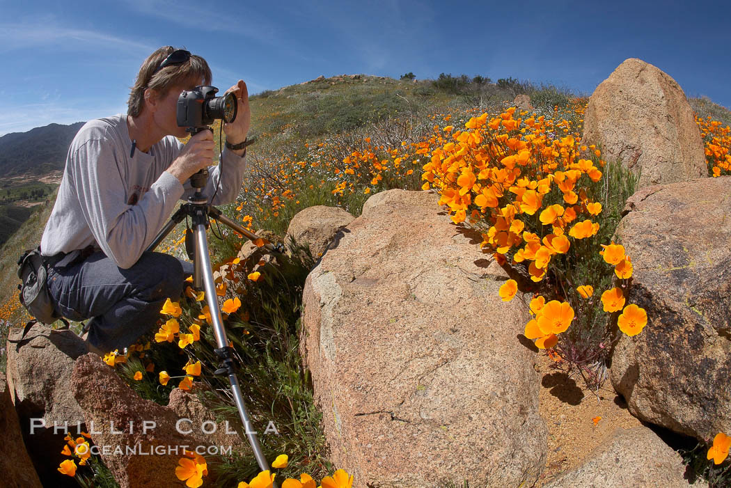 A photographer trains his camera on a bright orange bloom of California poppies. Elsinore, USA, Eschscholzia californica, Eschscholtzia californica, natural history stock photograph, photo id 20503
