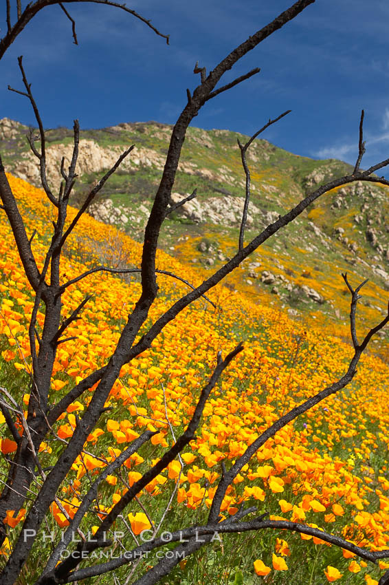 California poppies bloom in enormous fields cleared just a few months earlier by huge wildfires.  Burnt dead bushes are seen surrounded by bright poppies. Del Dios, San Diego, USA, Eschscholzia californica, Eschscholtzia californica, natural history stock photograph, photo id 20515
