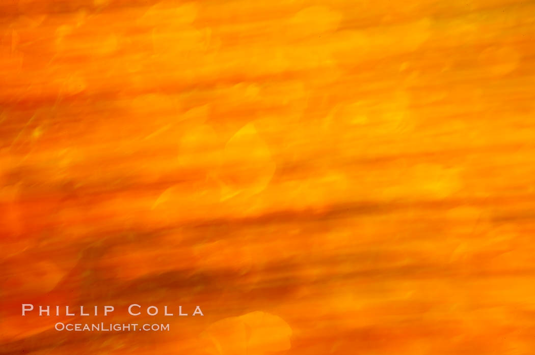 California poppies in a blend of rich orange color, blurred by a time exposure. Del Dios, San Diego, USA, Eschscholzia californica, Eschscholtzia californica, natural history stock photograph, photo id 20523