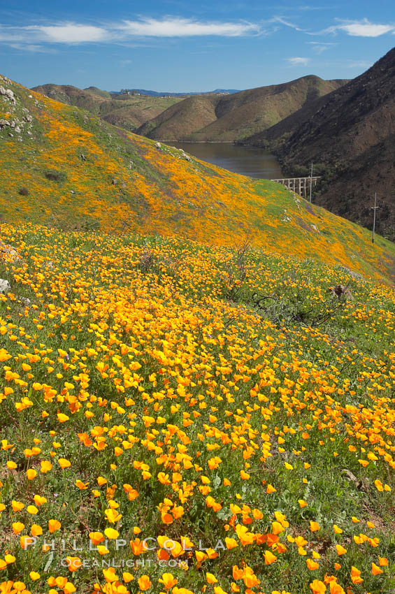 California poppies cover the hillsides in bright orange, just months after the area was devastated by wildfires. Del Dios, San Diego, USA, Eschscholzia californica, Eschscholtzia californica, natural history stock photograph, photo id 20501