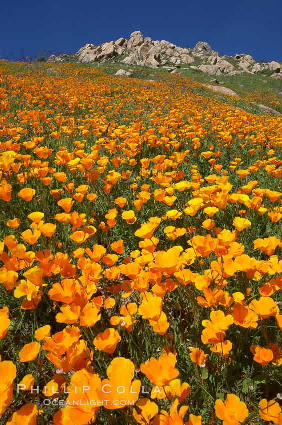 Image 20513, California poppies cover the hillsides in bright orange, just months after the area was devastated by wildfires. Del Dios, San Diego, California, USA, Eschscholzia californica, Eschscholtzia californica, Phillip Colla, all rights reserved worldwide. Keywords: bloom, bouquet, california, california poppies, california poppy, del dios, environment, eschscholtzia californica, eschscholzia californica, floral, flower, hill, meadow, nature, orange, outdoors, outside, plant, poppies, poppy, san diego, spring, usa, wildflower, yellow.