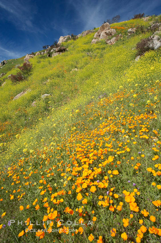 Image 20525, California poppies cover the hillsides in bright orange, just months after the area was devastated by wildfires. Del Dios, San Diego, California, USA, Eschscholzia californica, Eschscholtzia californica