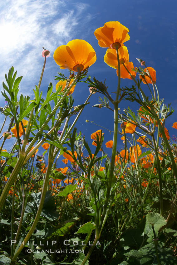 California poppy plants viewed from the perspective of a bug walking below the bright orange blooms. Del Dios, San Diego, California, USA, Eschscholzia californica, Eschscholtzia californica, natural history stock photograph, photo id 20541