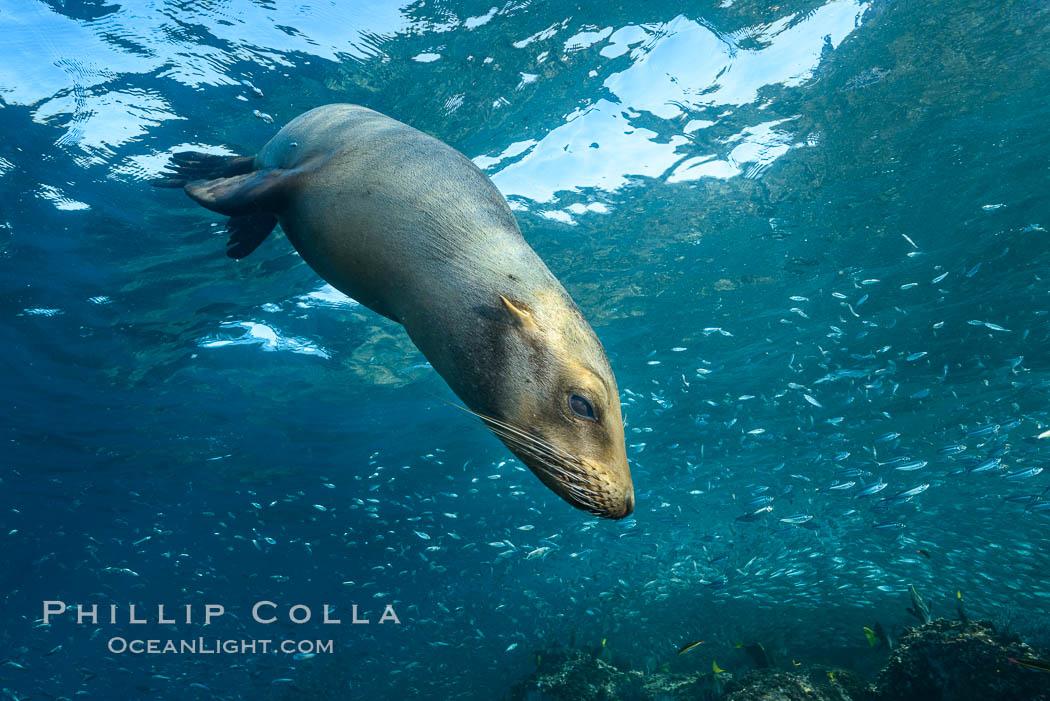 California sea lion and school of sardines underwater, Sea of Cortez, Baja California. Sea of Cortez, Baja California, Mexico, Zalophus californianus, natural history stock photograph, photo id 31245