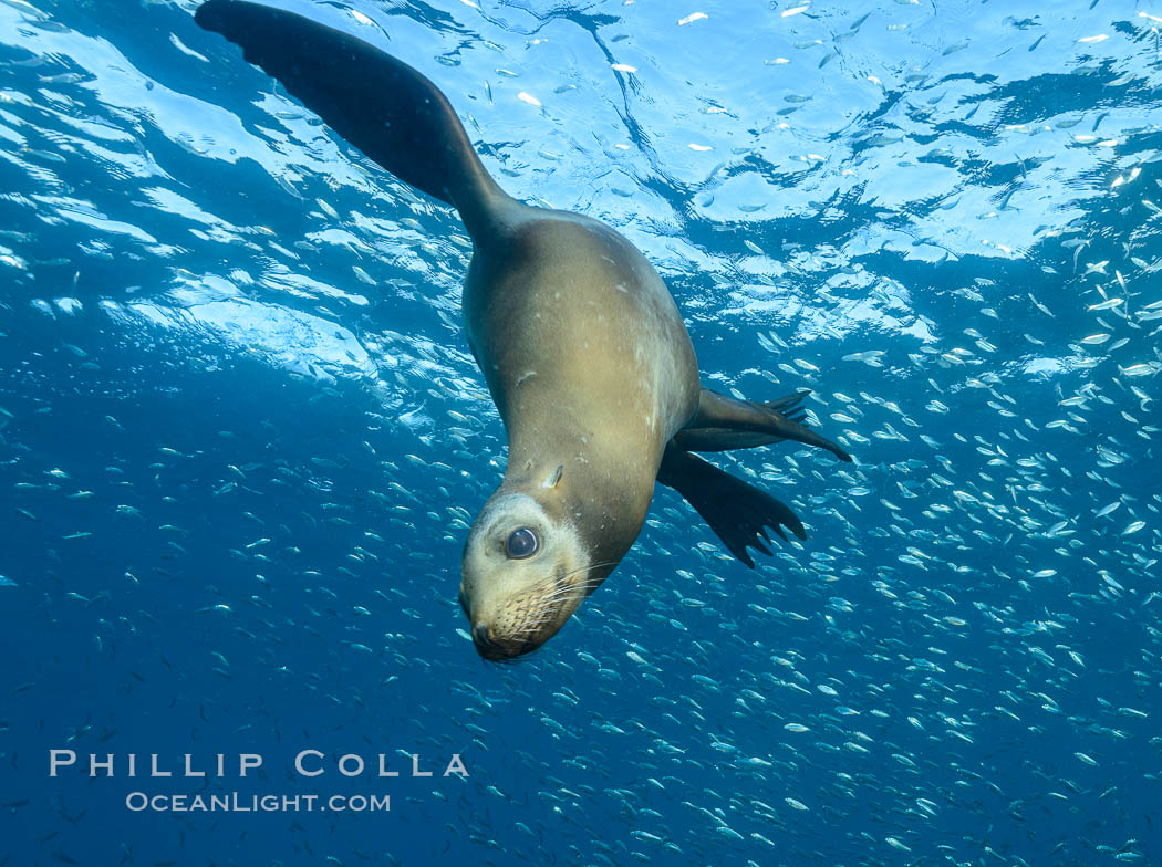 Image 31305, California sea lion and school of sardines underwater, Sea of Cortez, Baja California. Sea of Cortez, Baja California, Mexico, Zalophus californianus