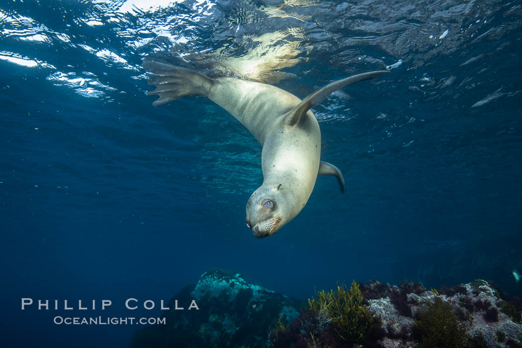 California sea lion, Coronados Islands, Baja California, Mexico. Coronado Islands (Islas Coronado), Coronado Islands, Baja California, Mexico, Zalophus californianus, natural history stock photograph, photo id 34587